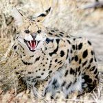 Jasper at Safe Haven Wild Animal Refuge Nevada