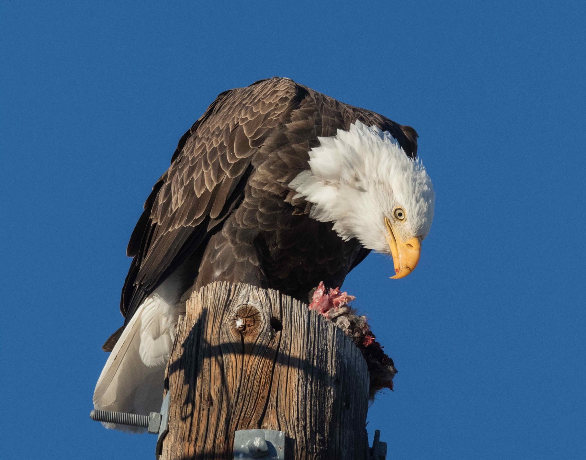 Eagles and Agriculture in Carson Valley