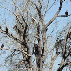 Eagles & Agriculture in Carson Valley