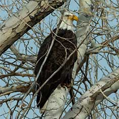 Eagles & Agriculture, Carson Valley Nevada
